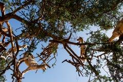Cabras en el ?rbol del spinosa de Argan Argania, Marruecos visto de debajo fotos de archivo