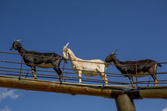 Cabras en el aire Foto de archivo