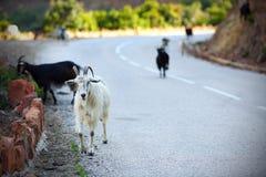 Cabras en el camino de la montaña en Córcega Foto de archivo