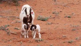 Cabras en el campo en el Kalahari en Suráfrica metrajes