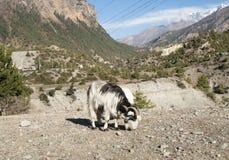 Cabras en el circuito de Annapurna, emigrando Fotografía de archivo