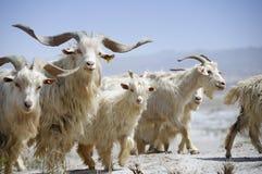 Cabras en el desierto, lavabo de Tarim, Xinjiang, China imágenes de archivo libres de regalías