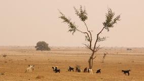 Cabras en el desierto Rajasthán la India almacen de video