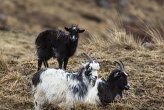Cabras en el parque de la cabra salvaje en Galloway Forest Park Imágenes de archivo libres de regalías