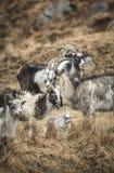 Cabras en el parque de la cabra salvaje en Galloway Forest Park Foto de archivo libre de regalías