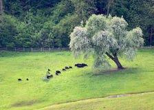 Cabras en el pasto fotografía de archivo libre de regalías