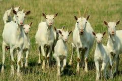 Cabras en el pasto fotografía de archivo