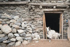Cabras en el pueblo de Nepal, paisaje en el circuito de Annapurna, emigrando Imagen de archivo