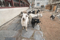 Cabras en el pueblo de Nepal, paisaje en el circuito de Annapurna, emigrando Imagen de archivo libre de regalías