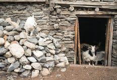 Cabras en el pueblo de Nepal, paisaje en el circuito de Annapurna, emigrando Foto de archivo