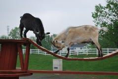 Cabras en el puente Fotografía de archivo libre de regalías