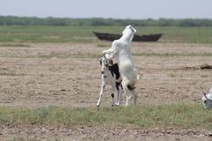 Cabras en la acción lista para el wwe del episodio maníaco de la lucha Foto de archivo libre de regalías