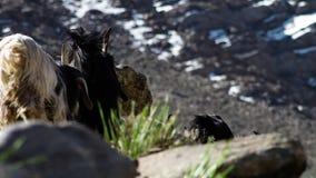 Cabras en la búsqueda para la hierba fresca metrajes