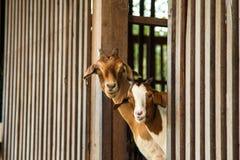 Cabras en la granja Fotografía de archivo libre de regalías