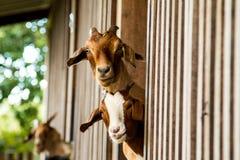 Cabras en la granja Imagen de archivo libre de regalías