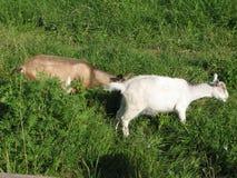 Cabras en la hierba Imagenes de archivo