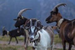 Cabras en la montaña Imagenes de archivo
