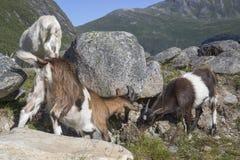 Cabras en la montaña, la granja de Herdal, Noruega Foto de archivo libre de regalías