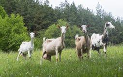Cabras en naturaleza Fotos de archivo