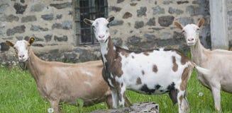 Cabras en naturaleza Foto de archivo libre de regalías