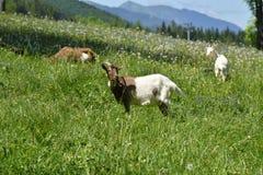Cabras en pasto, montañas de Zakopane Tatra Imagenes de archivo