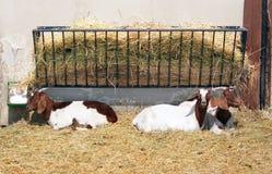Cabras en pluma Imágenes de archivo libres de regalías