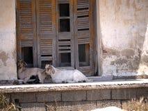 Cabras en reserva de naturaleza en Skala Kalloni Lesvos Grecia Imagen de archivo libre de regalías