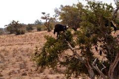 Cabras en un árbol Imagen de archivo