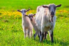 Cabras en un césped verde Foto de archivo