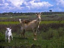 Cabras en un prado Foto de archivo libre de regalías