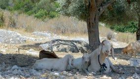 Cabras en un surco verde oliva en Turquía almacen de metraje de vídeo
