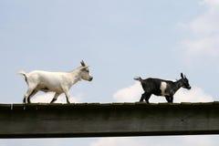Cabras en una granja Fotos de archivo libres de regalías