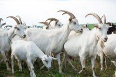 Cabras en una manada Imagen de archivo