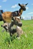 Cabras enanas nigerianas Imagen de archivo