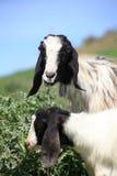 Cabras encantadoras que comen las plantas en una granja Fotografía de archivo libre de regalías