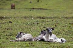 Cabras grises de reclinación Fotos de archivo libres de regalías