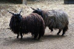 Cabras húngaras originales Imagen de archivo