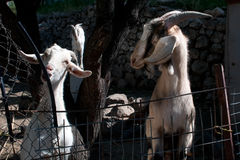 Cabras hechas en casa Fotos de archivo libres de regalías