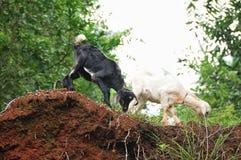 Cabras indianas Fotografia de Stock Royalty Free