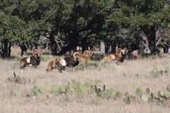 Cabras longas do chifre Fotografia de Stock