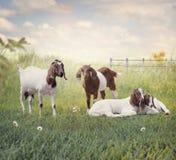 Cabras madre del Boer y reclinación de los bebés imagenes de archivo