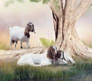 Cabras madre y bebés del Boer imagen de archivo libre de regalías