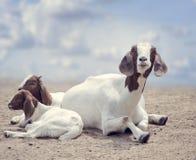 Cabras madre y bebés del Boer fotos de archivo