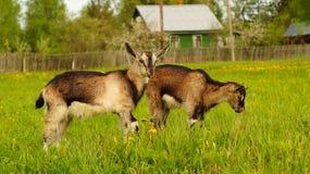 Cabras marrones jovenes divertidas en el prado imagen de archivo libre de regalías