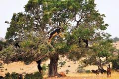 Cabras marroquíes en un árbol del Argan (argania spinosa) que comen el Argan n Foto de archivo