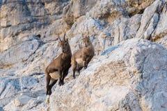 Cabras monteses alpinos Imagen de archivo