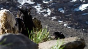 Cabras na busca para a grama fresca filme