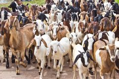 Cabras na estrada. Imagem de Stock Royalty Free