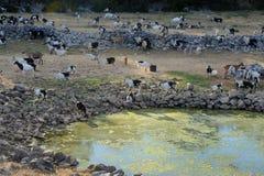 Cabras na exploração agrícola Imagem de Stock