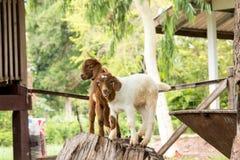 Cabras na exploração agrícola em Tailândia Fotografia de Stock